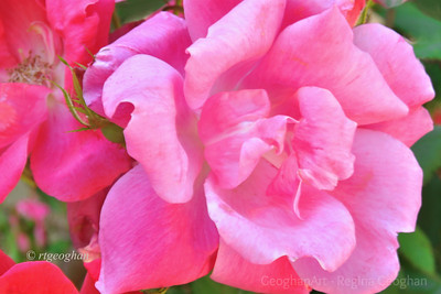 Day 141: Pink Roses -  May 20, 2012.  Came upon this beautifully blooming rose bush while walking in my neighborhood.
