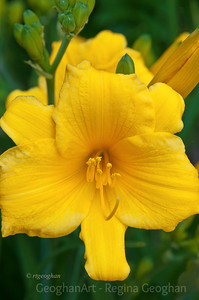 Day150: Yellow Daylily May 29, 2012.  Thanks to everyone who commented on my dahlia and Memorial Day photos.