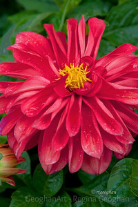Day 124: Red Dahlia in the Rain - May 3, 2012.  Lots of rainy, cloudy weather this week here in NJ - more today.