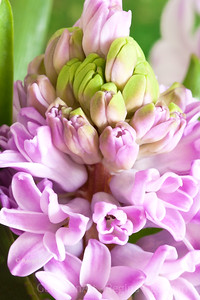 Day 86: Pink Hyacinth - March 27, 2012.