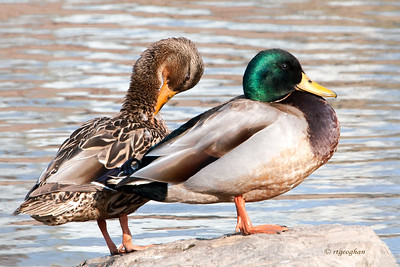 Day 74: Mallard Pair - March 13, 2012. Enjoyed watching these beautiful mallards preening in the late day sun