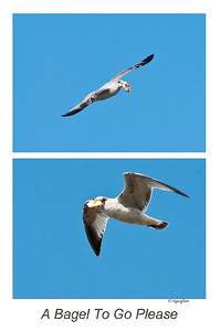 Day 72: A Gull with a Bagel - March 11, 2012.  Didn't intend this to be my photo of the day but want to post it - a fun story.  This gull either stole the bagel or someone threw it out and the gull caught it but the poor bird flew around for more than 20 minute trying to find a way to enjoy it.  Every time he tried to land, other gulls attemped to take it from him and a few followed him into the air several times to try to grab it and aerial power plays ensued.  Most were too far away for my camera to capture but I did get these two shots.   This was one very determined bird.