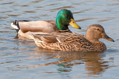 Day 74: Mallard Pair - March 13, 2012. Enjoyed watching these beautiful mallards preening in the late day sun.