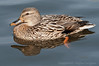Day 71: Female Mallard - March 10, 2012.