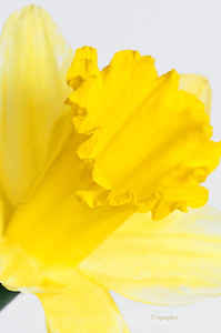 Day 77: Daffodil - March 16, 2012.   Rainy, foggy, dreary today - more indoor daffodil practice shots.