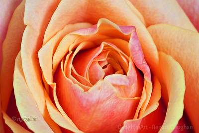 Day 63: Coral-Yellow Rose Closeup - March 2, 2012.