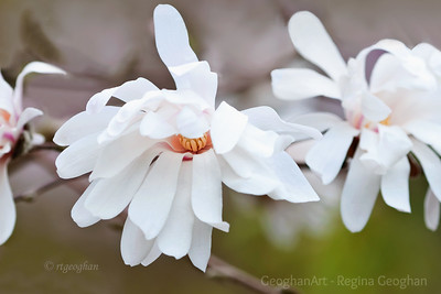 Day 82: Star Magnolia Blossoms - March 21, 2012.