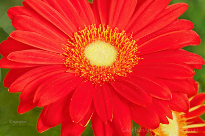 Day 86: Orange Gerbera Daisy - March 25, 2012.  Just loved the bright bold colors of this Gerbera Daisy plant.  Thanks for the wonderful comments on the daffodil image.  It is such a joy to be out and around these beautiful spring flowers.
