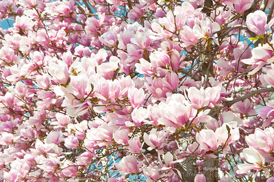 Day 83: Pink Tulip Magnolia Tree - March 22, 2012
