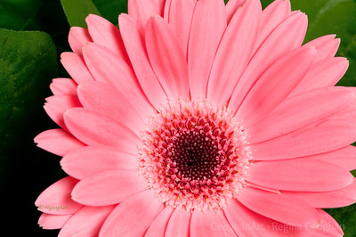 Day 79: Gerbera daisy - March 18, 2012.