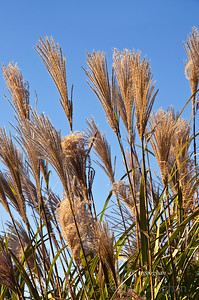Day 311: Marsh Grasses - Nov 5.  The best that I could do for today.  Long lines at the supermarket and longer lines at the gas station, once I found one that was open.  Took a quick ride to the nearest N.J. Meadowlands park but it was not accessible.  So many trees and branches down.  Could not even see the walking path.  A quick shot of these marsh grasses dancing in the wind.
