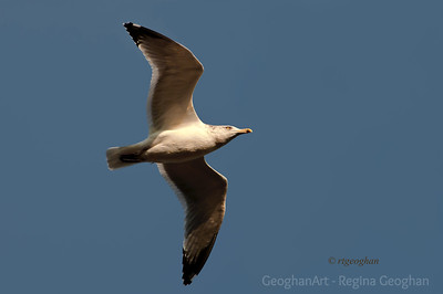 Day 319: Herring Gull - Nov 13.  Bright beautiful blue skies for a short time yesterday.   Today and rest of the week - more rain.