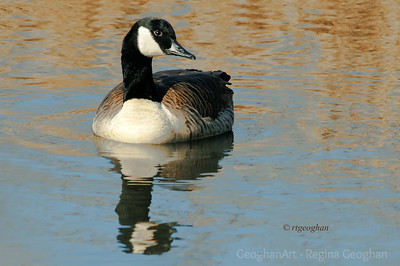 Day 325: Canada Goose- Nov 19.  Yesterday a shot of a Canada goose in morning sunlight.