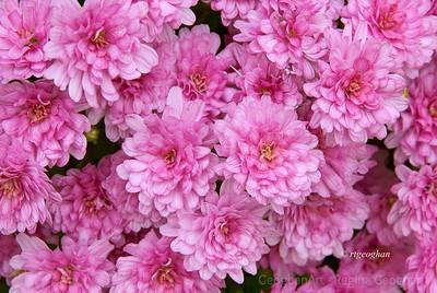 Day 278: Pink Chrysanthemums - Oct 4.