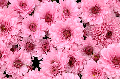 Day 302: PInk Chrysanthemums - Oct 28.  Pink mums for Breast Cancer Awareness Challenge. Good luck to all those in the path of the huge storm approaching the East Coast.  Keep safe.  Thanks to all who have commented on my images during this past week.