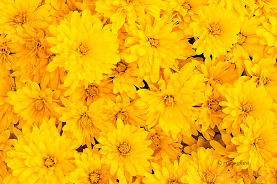 Day 269: Yellow Chrysanthemums - Sept 25.  Love the burst of vibrant autumn mum colors that are starting to appear. .