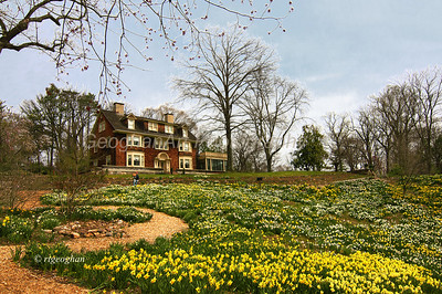 Day 105: Daffodil Garden - April 16. Two photos for today both taken at Reeves-Reed Arboretum where the daffodil bowl garden in in full bloom.
