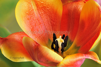 Day 117: Tulip Portrait - April 28.   Thanks to everyone who commennted on my tulip image from yesterday.  Sadly, the tulips have past their peak and there are very few still around to photography.  Hopefull will get one more day to find more.