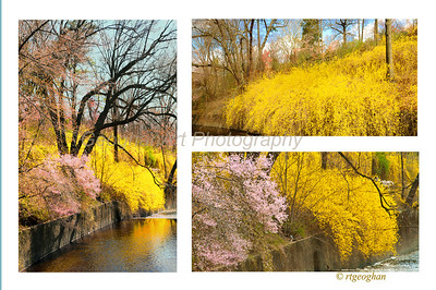 Day 104: Spring Postcard - April 15.  Wonderful color seen on a walk yesterday wth yellow forsythia in full bloom against other spring colors.