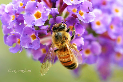Day 229: Honey Bee on Butterfly Bush - August 20. I've seen a lot of carpenter and bumble bees this summer but this is the first honey bee that I've encountered.   Thanks for all of your comments on my Farmer's Market post yesterday.