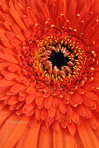 Day 234: Gerbera Daisy - August 25. Happy 'G' Day. Looking forward to viewing all of this  weeks alphabet challenge posts.