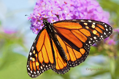 Day 223: Monarch Butterfly - August 14.  A sighting of a monarch butterfly yesterday - a rare event this summer.  Thanks to all who commeted on my post yesterday.