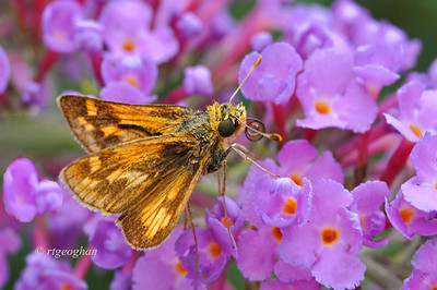 Day 221: Skipper Butterfly -  August 12.  A Peck's Skipper I believe on butterfly bush.  He is about the size of a dime.
