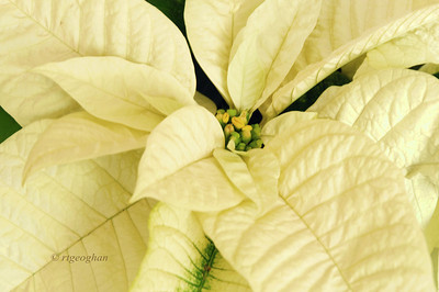 Day 335: White Pointsettia - December 2.  Thanks to those who commented on yesterdays post - the USA collage.
