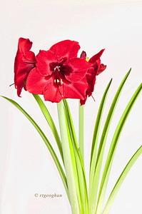 Day 36: Red Amaryllis - Feb 5, 2013.  My neighbor asked me to take a photo of her Amaryllis plant.  Window light agains white background.