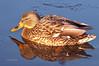 Day 8: Female Mallard Duck - Jan 8, 2013.  This female mallard was bathed in golden light just before sundown last night.
