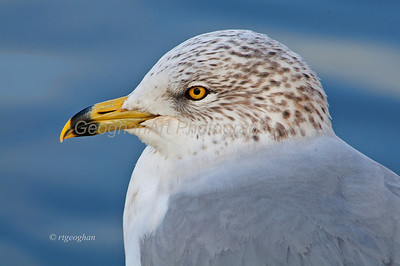 Day 9: Ring-billed Gull Portrait - Jan 9, 2013.  Thanks to all who posted such nice comments on my duck photo yesterday.  The relatively mild winter weather and beautiful sunshine over the past few days has made it a pleasure to get outside for a short time in late afternoon  to watch and photograph the ducks and gulls.  A wonderful way to relax.
