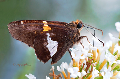 Day 209: Silver-spotted Skipper Butterfly - July 31. Thanks for all of the comments on my buttefly post from yesterday.