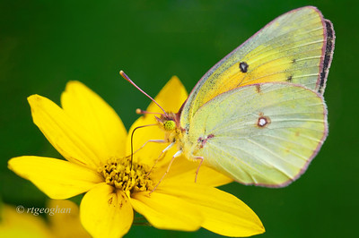 Day 201: Sulphur Butterfly on Coreopsis - July 23.  Got rained out within minutes of arriving at the park yesterday but did get a quick two photos of this little butterfly.  I believe that it is a Pink-edged Sulphur.