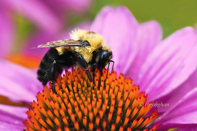 Day 206: Carpenter Bee on Coneflower - July 28.  Coneflower for 'C' alphabet challenge day with a Carpenter Bee on top.
