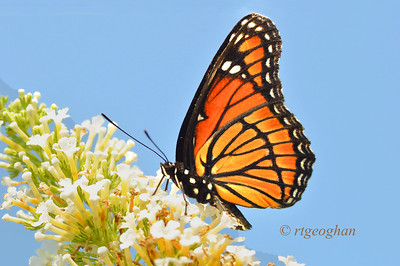 Day 198: Viceroy Butterfly - July 20.  Yesterday's photo 'catch' was this beautiful Viceroy butterfly that finally stayed still long enough to get a shot against the blue sky.  This was before 10:00 in the moring and the temp reading on my car display was already edging beyond 96 degrees.  Thanks for alll of the nice comments on my Clear-winged Spinx Moth post yesterday.