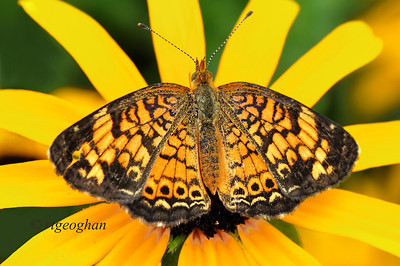 Day 203: Pearl Crescent Butterfly - July 25.  A pretty little Pearl Crescent butterfly sitting on a Black-Eyed Susan for today.   Still not seeing the numbers of butterflies that would be expected for this time of year. Still primarily the Skippers and Cabbage Whites and a few Swallowtails.  Thanks for all of the wonderful commetnts on my Ladybug shot yesterday.  It truly was a lucky shot since it flew off almost immediately.