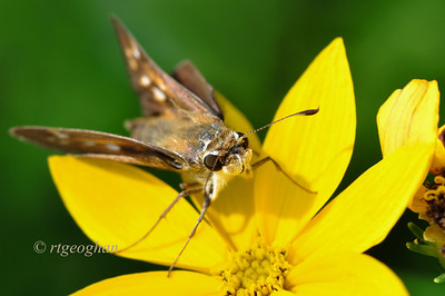 Day 200: Skipper Butterfly on Coreopsis - July 22.  Had fun watching this cute little skipper enjoying breakfast yesterday.