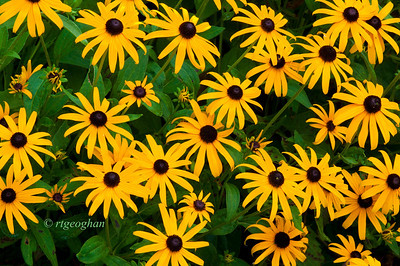 Day 199: Black-eyed Susans - July 21. My post for the 'B' day of the alphabet.