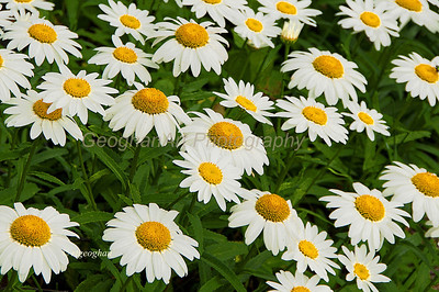 Day 173: Daisy Patch - June 25.  These daisies stood out with their bright white faces under a cloudy sky.