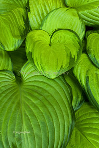 Day 178: Hosta Leaves- June 30.  Loved the heart shaped leaves and bright green color of these hosta leaves.