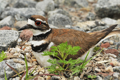 Day 165: Nesting Killdeer- June 17.  Got this shot from my car of a female killdeer sitting on her eggs in the gravel nest.  Killdeer llay their eggs in small indentations in gravel or stone environments.  If the mama bird feels that a predator is near, she will move a short distance from the eggs and put on a wounded bird act to simulate a broken wing to lure the predator away from the eggs. The newly fledged babies are precocial meaning that they hatch from the eggs with the ability to begin functioning - vision , feeding, etc. on their own within a short time after.