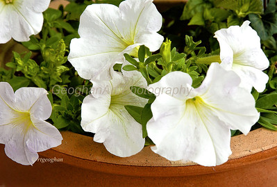 Day 167: White Petunias - June 19.  Rain and clouds all day yesterday.  A pot of petunias on my balcony.