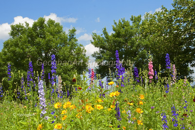 Day 164: Flowers and Blue Sky- June 16.  The beautiful blue sky and puffy white clouds were a perfect backdrop for this colorful, cheerful wildflower garden in the NJ Meadowlands yesterday .   Happy Father's Day to all of the dads and grandads out there.