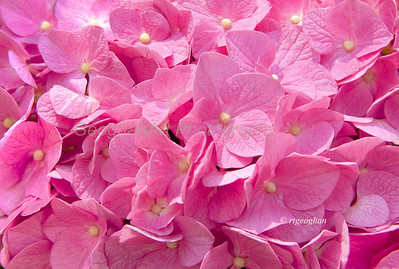 Day 176: NYC-Pink Hydrangea - June 28.