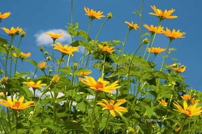 Day 168: Woodland Sunflowers - June 20.  Noticed this group of woodland sunflowers as I was driving past and they kept calling to me so I went back to get a shot of them against the sky.