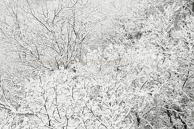 Day 67: Snow Mosiac - Mar 8.  Snow all morning.  Hoping to get out with the car and find a park that is open to get some landscape shots.  These snow covered trees are on a patch of cliffside, part of the NJ Palisade.