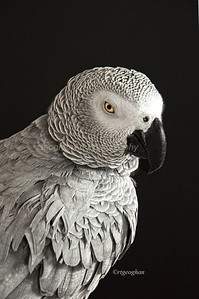 Day 75: African Grey Parrot - Mar 16. This is Clancy Bird, my African Grey Parrot. He was named in honor of his human family's Irish heritage so I thought he should have his portrait taken for St Patricks Day. He didn't quite agree so his feathers are a bit ruffled. Definitely camera shy.