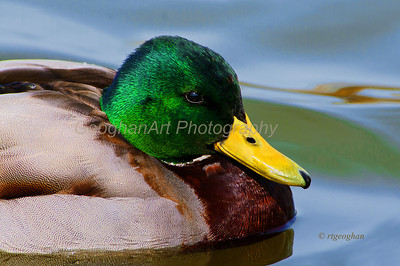 Day 84: Duck Portrait Mallard Drake - Mar 25.
