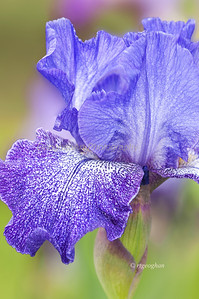 Day 137: Presby Memorial Iris Garden - May 19.  Poured rain all day today.  Spent the day editing iris photos instead of being out photographing them which I would have enjoyed much more. Today's iris is named Purple Pepper.