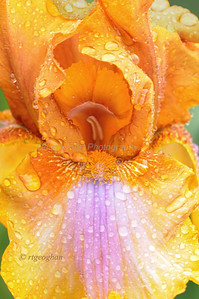 "Day 142: Tall Bearded Iris - Presby Memorial Iris Garden, Montclaire NJ - May 25.  Iris ""Bohemian"" in the rain."
